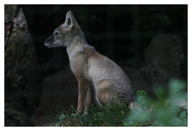 renard corsac ... Vulpes corsac ; ordre des carnivores; sous ordre des caniformes famille des canidés