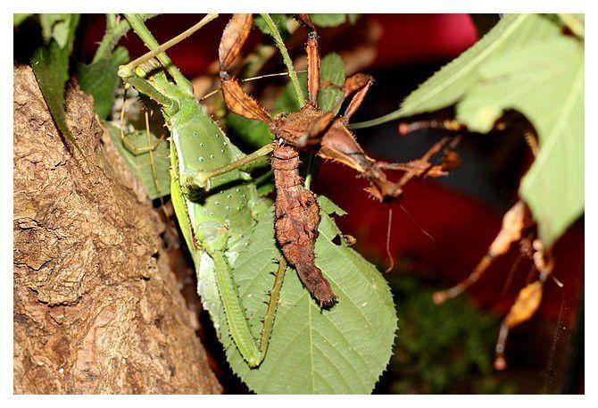 Phasme dilaté ... Heteropteryx dilatata, mâle ;  Ordre des phasmoptères, Famille des Phasmatidés