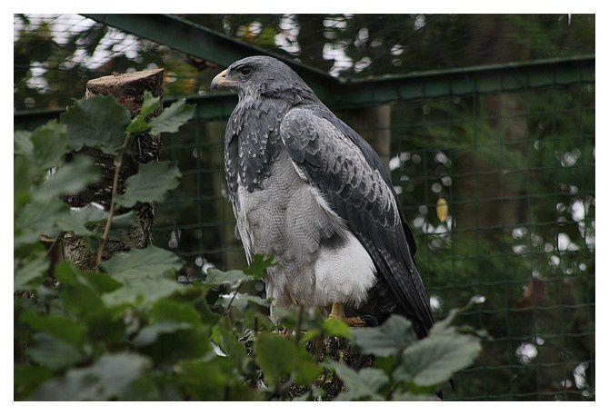 Buse aguia, ou Buse bleue du Chili ... Geranoaetus melanoleucus, ordre des accipitriformes, famille des accipitridés