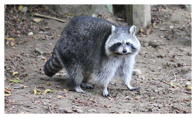 Raton laveur commun  ... Procyon lotor; ordre des carnivores, sous ordre des caniformes, famille des procyonidés