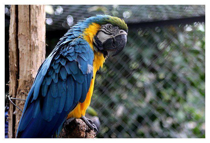 Ara bleu ... Ara ararauna; ordre des psittaciformes, famille des psittacidés