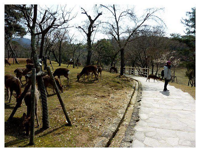 les cerfs sika, une attraction du temple