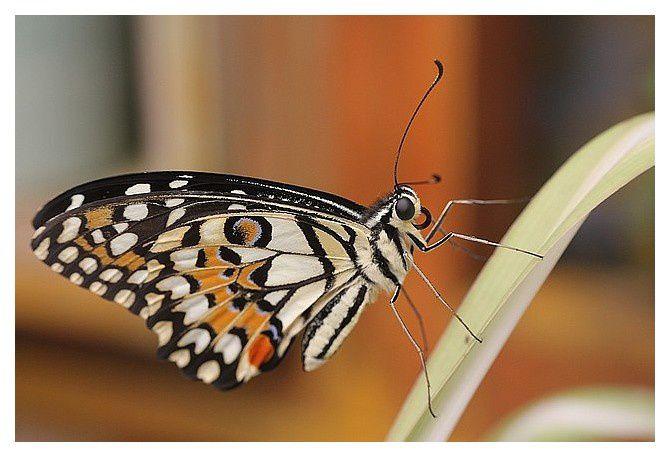 le voilier échiquier (papillon)