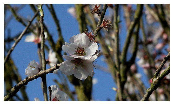 le 7 mars, un amandier déjà en fleur !