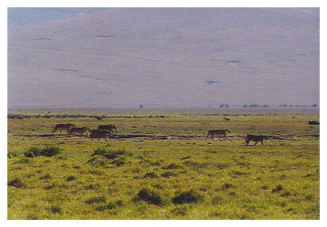 les lionnes en ordre de chasse dans le cratère du Ngoro Ngoro