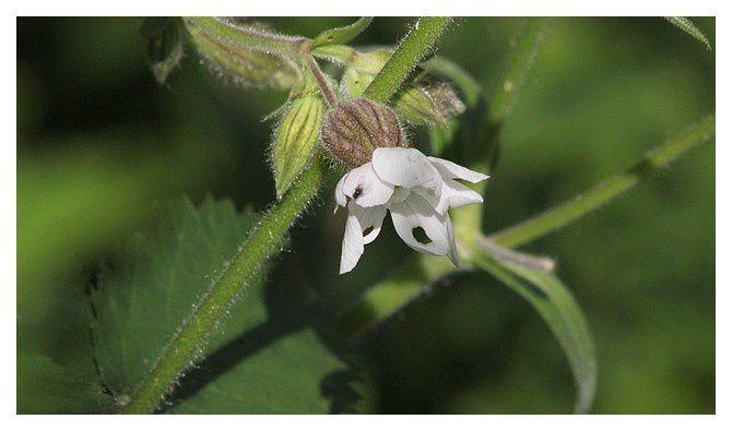 Compagnon blanc (Silene latifolia) ; ordre des Caryophyllales , famille des Caryophyllaceae.