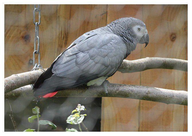 Perroquet jaco ou gris du Gabon ...Psittacus erithacus ; Ordre des Psittaciformes, Famille des Psittacidés.