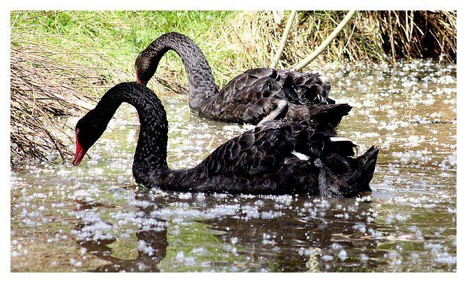 Cygne noir ...Cygnus atratus. Ordre des Ansériformes, Famille des  Anatidés.