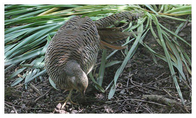 Faisan doré, femelle et mâle ... Chrysolophus pictus . Ordre des Galliformes, Famille des Phasianidés.