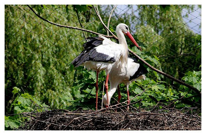 Cigogne blanche au nid ... Ciconia ciconia. Ordre des Ciconiiformes, Famille des Ciconiidés.