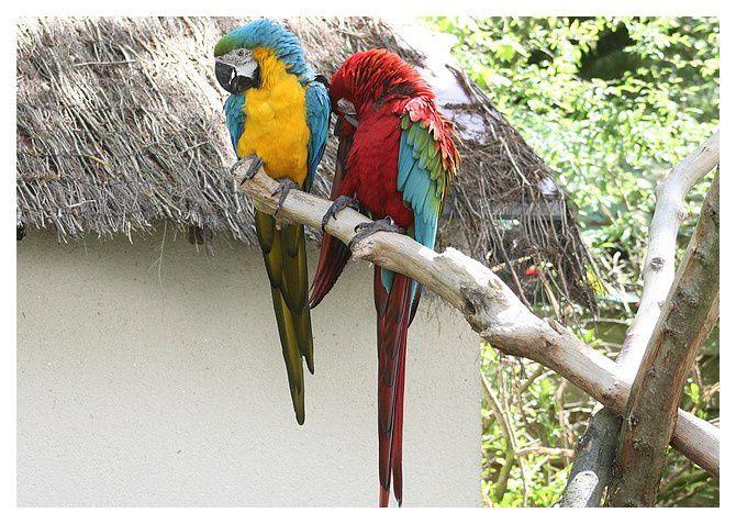 Ara bleu ... Ara ararauna (à gauche) et ara chloroptère ou à ailes vertes ... Ara chloropterus . Ordre des Psittaciformes, Famille des Psittacidés.