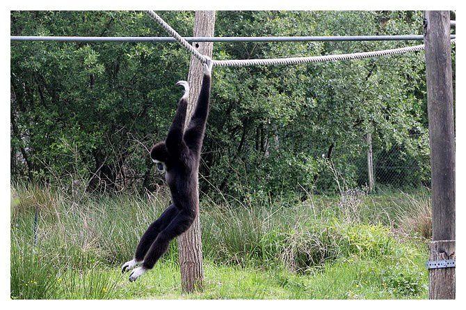 Gibbon à mains blanches ou lar ... Hylobates lar ; Ordre des Primates, Famille des Hylobatidés
