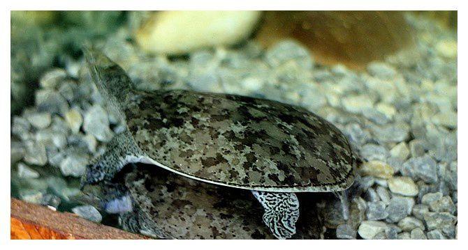 tortue à nez pointu, épineuse, à trompe ou molle à épines... Apalone spinifera; ordre des testudines, famille des Trionychidés