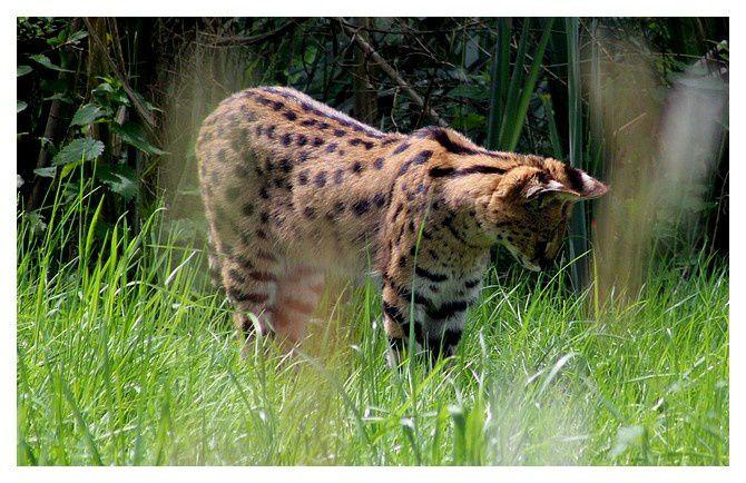 serval ... Leptailurus serval; ordre des carnivores, familles des félidés
