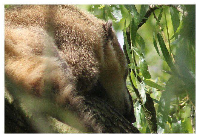 coati commun , coati roux, ou  coati à queue annelée (Nasua nasua); ordre des Carnivores , famille des procyonidés ... endormi sur une branche d'arbre