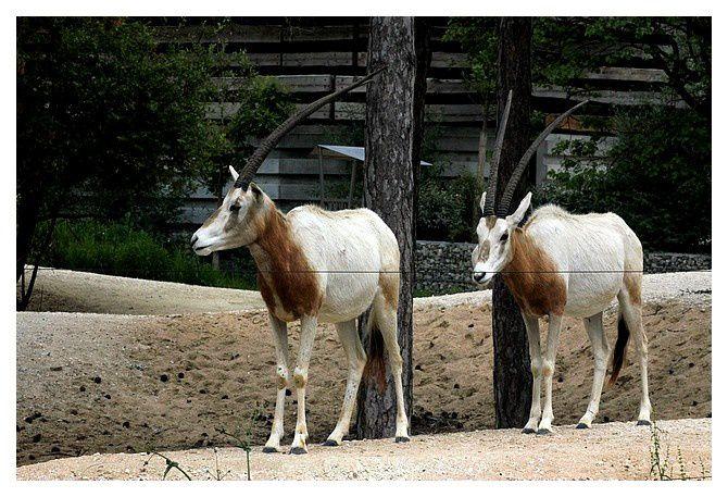 Oryx algazelle ou oryx de Libye ...  Oryx dammah ; ordre des cétartiodactyles, famille des bovidés, sous famille des hippotraginés