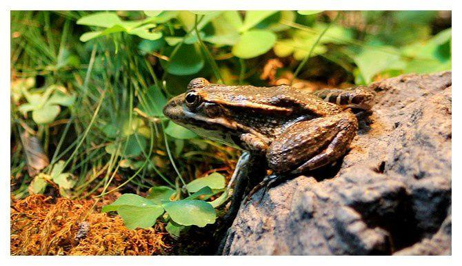 grenouille rieuse ... Pelophylax ridibundus; ordre des anoures famille des ranidés