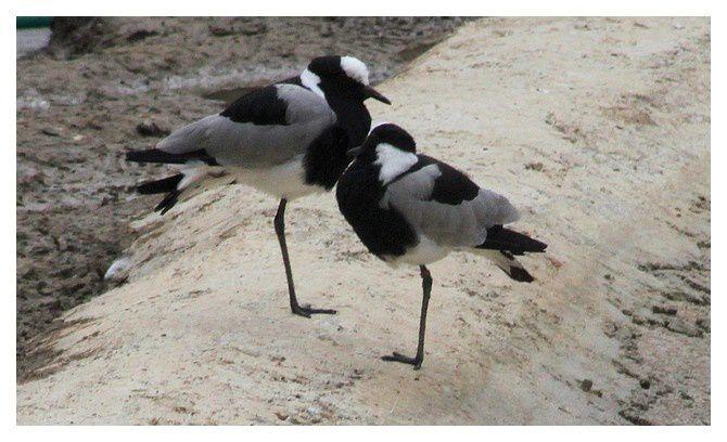 Vanneau armé .... Vanellus armatus . Oiseaux · Charadriiformes · Charadriidés.