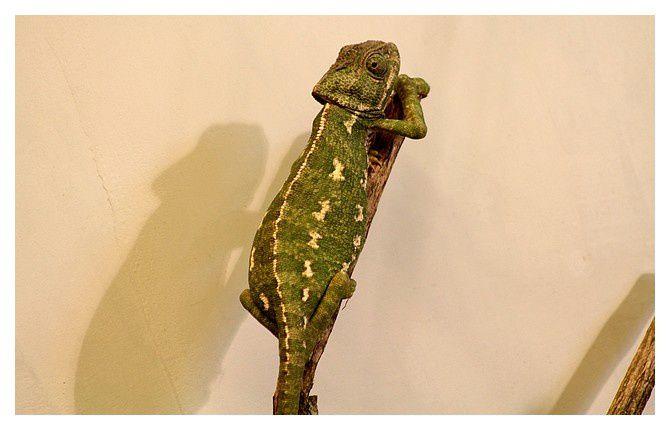 caméléon commun ... Chamaeleo chamaeleon ; Ordre des Squamates, Famille des caméléonidés