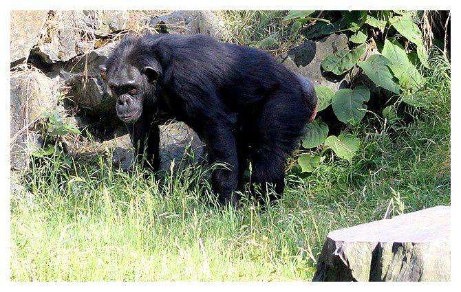 Chimpanzé commun (femelle) ... Pan troglodytes; ordre des primates, famille des Hominidés