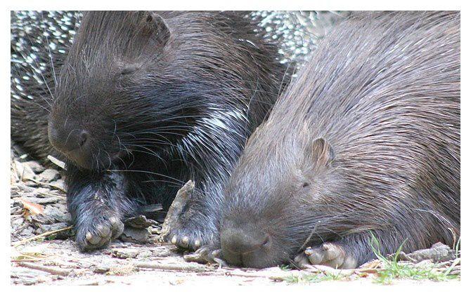 Porc-épic à crête ... Hystrix cristata; Ordre des rongeurs, Familledes Hystricidés