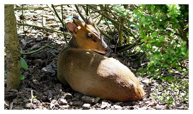 pudu du Sud  ... Pudu puda,ordre des cétartiodactyles famille des cervidés ... le plus petit cervidé du monde