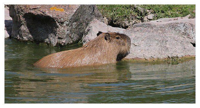 capybara ... Hydrochoerus hydrochaeris ; ordre des rongeurs, famille des cavidés (excellent nageur)
