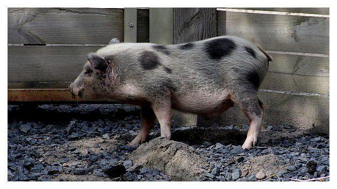 cochon miniature de Gottingen ... Sus scrofa domesticus ; ordre des cétartiodactyles, famille des suidés