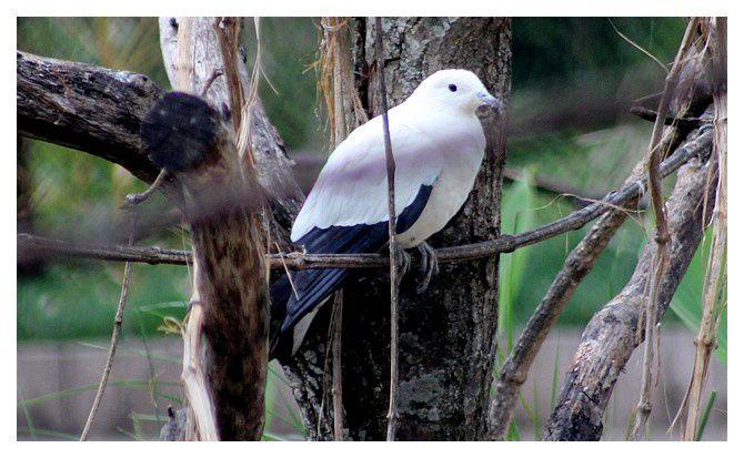 Carpophage blanc ... Ducula bicolor ; ordre des columbiformes, famille des columbidés
