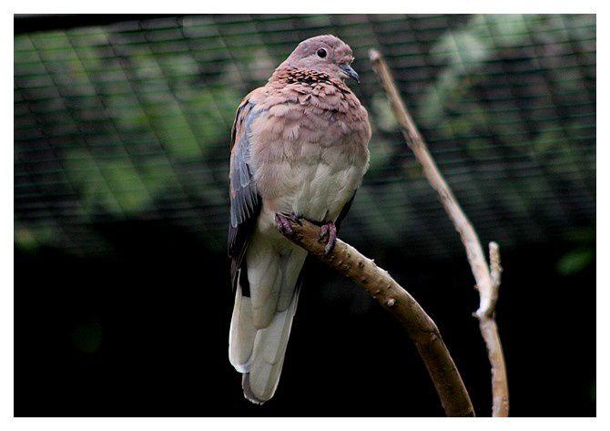 Tourterelle maillée ( Spilopelia senegalensis ). Ordre : Columbiformes, Famille : Columbidés.
