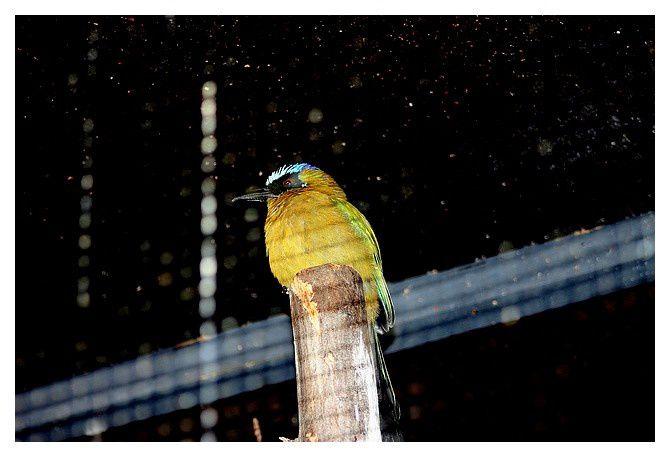 Motmot houtouc. ... Momotus momota - Amazonian Motmot. Oiseaux · Coraciiformes · Momotidés