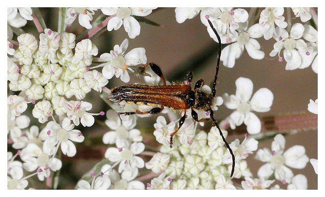 Stenopterus ater  mâle ; ordre des coléoptères, famille des cérambycidés