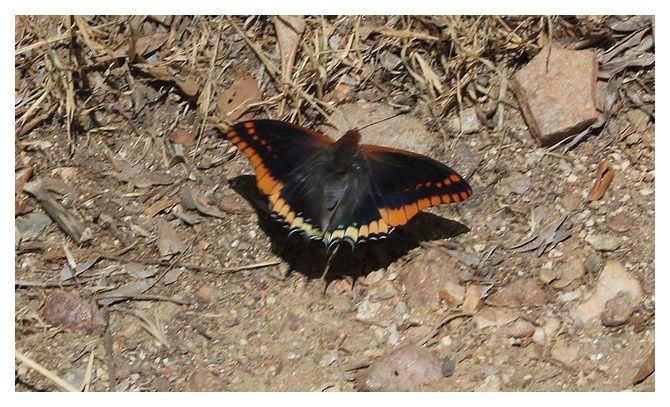 le Pacha à deux queues ou le Jason  ...  Charaxes jasius; ordre des lépidoptères, famille des nymphalidés ... ailes ouvertes et fermées