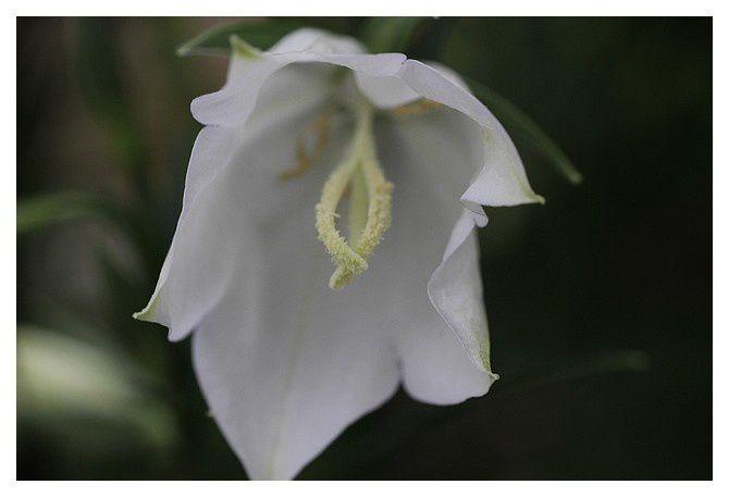 campanule de Perse ... Campanula persicifolia 'alba';  Ordre desAsterales, Famille des Campanulacées