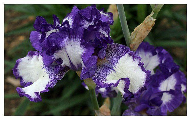 iris ...  Iris; Ordre des Asparagales,Famille des Iridacées