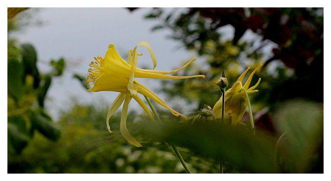 ancolie jaune ... Aquilegia;  Ordre des Ranunculales Famille des Ranunculacées