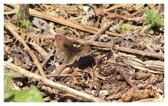 le myrtil (vieux spécimen !) ... Maniola jurtina; ordre des lépidoptères, famille des Nymphalidés