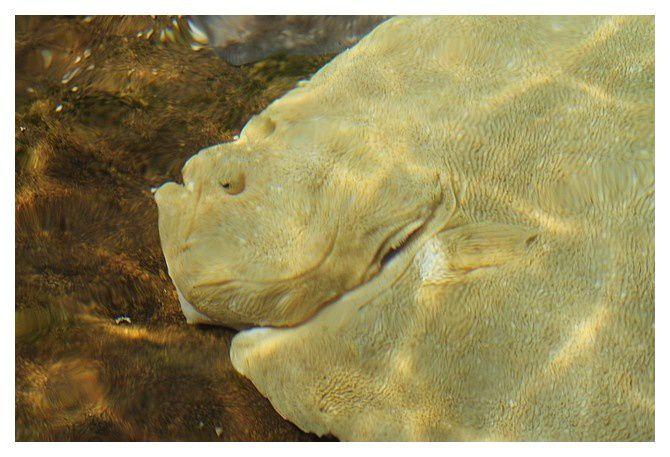 turbot ... Scophthalmus maximus; classe des actinoptérygiens, Ordredes Pleuronectiformes, Famille des Scophthalmidés