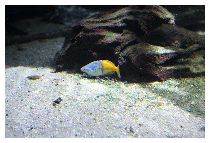 poisson arc en ciel de Boeseman ... Melanotaenia boesemani; Ordre des Athériniformes, Famille des Melanotaeniidés