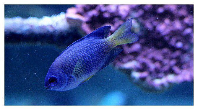 demoiselle  bleue ... Pomacentrus caeruleus; Ordre des perciformes, Famille des pomacentridés