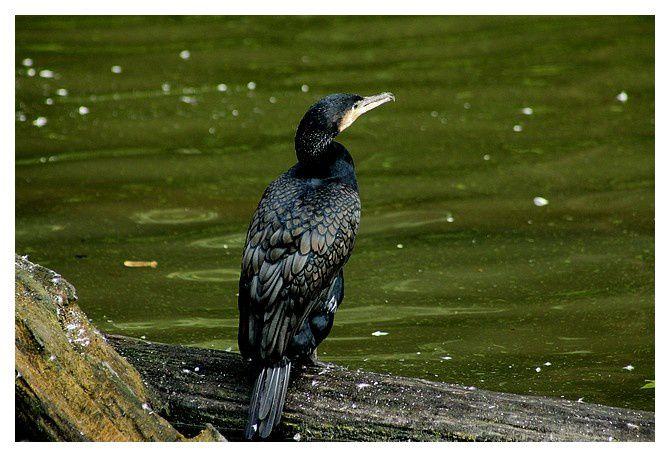 cormoran commun ... Phalacrocorax carbo; Ordre des Suliformes,  Famille des Phalacrocoracidés