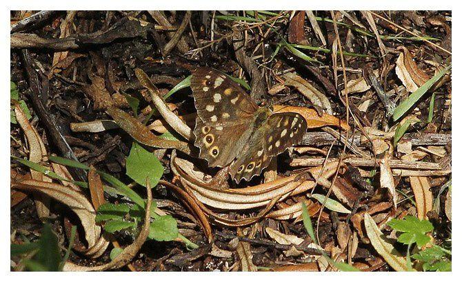 Le Tircis  ...  Pararge aegeria; classe des insectes, ordre des lépidoptères,  famille des Nymphalidés