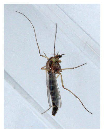 diptère ... moustique à identifier