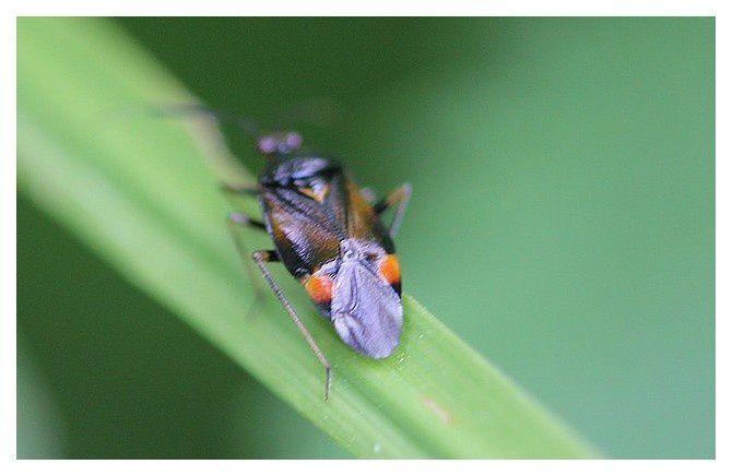 Deraeocoris ruber (punaise)