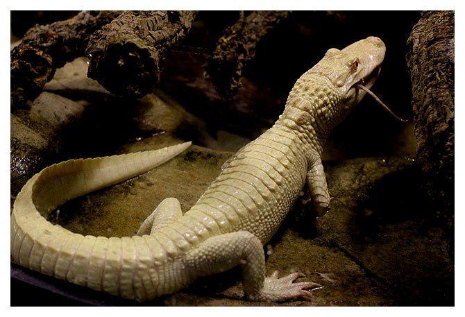 aligator du mississipi albinos ... Alligator mississippiensis; Ordre des Crocodiliens Famille des Alligatoridés
