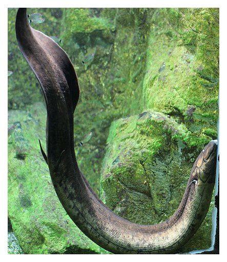 dipneuste sud-américain ... Lepidosiren paradoxa ;  classe des sarcoptérygiens.Ordre des Lépidosiréniformes Familledes Lépidosirénidés