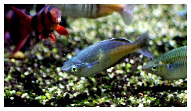 poisson arc en ciel  ... Melanotaenia trifasciata ; Ordre des Atheriniformes, Famille des Melanotaeniidés