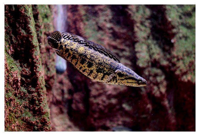 poisson à tete de serpent ... Parachanna africana ; Ordre des Perciformes, Famille des channidés