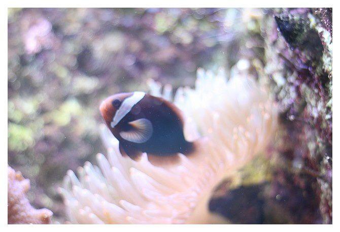poisson clown ... Amphiprion frenatus; Ordre des Perciformes  Famille des Pomacentridés