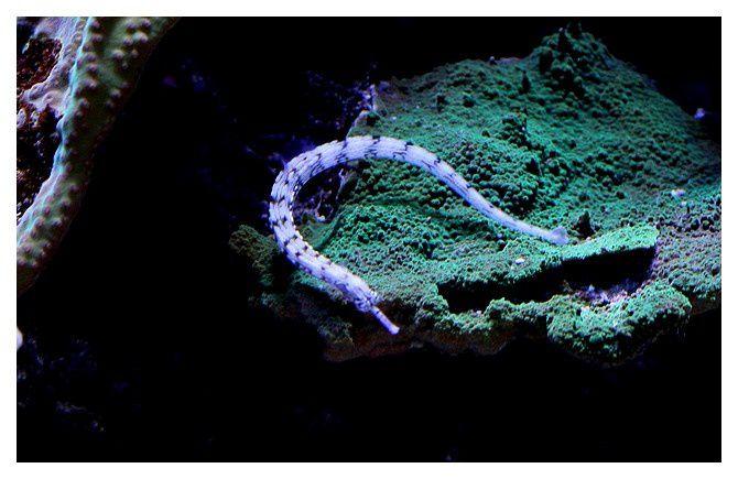 Syngnathe gribouillé ... Corythoichthys intestinalis; Ordre des Syngnathiformes  Famille des  Syngnathidés
